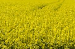 Campo da violação da semente oleaginosa Fotografia de Stock Royalty Free