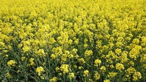 Campo da violação da exploração agrícola da semente oleaginosa Foto de Stock