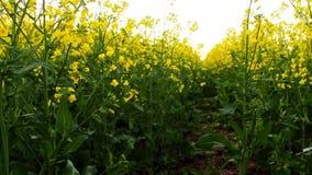 Campo da violação no por do sol Viole o relance do close-up das flores do sol dourado video estoque