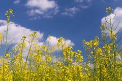Campo da violação sob o céu nebuloso azul Fotos de Stock