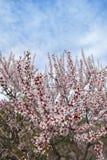 Campo das árvores da flor da amêndoa na estação de mola Foto de Stock Royalty Free