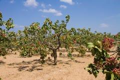 Campo das árvores de pistache fotografia de stock royalty free