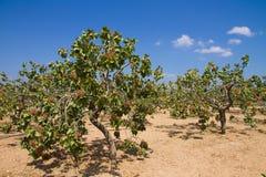 Campo das árvores de pistache imagens de stock