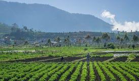 Campo das batatas em Dieng Wonosobo Foto de Stock Royalty Free