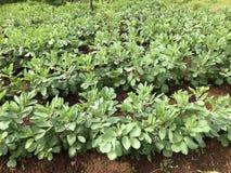 Campo das favas, detalhe imagem de stock