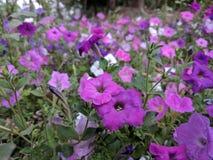 Campo das flores Fotografia de Stock Royalty Free