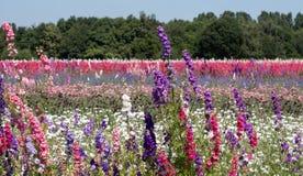 Campo das flores coloridas do delfínio plantadas nas fileiras da cor, em um campo de flor no feltro de lubrificação, Pershore, Wo fotos de stock