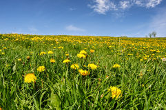 Campo das flores com o céu azul com nuvens Fotografia de Stock Royalty Free