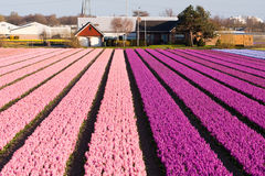 Campo das flores violetas e cor-de-rosa Foto de Stock