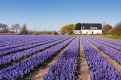 Campo das flores violetas - Hyacint Foto de Stock