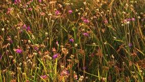 Campo das flores violetas que movem sobre o vento vídeos de arquivo