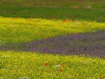 Campo das lentilhas Fotografia de Stock Royalty Free