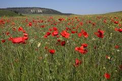 Campo das papoilas em Crimeia Foto de Stock Royalty Free