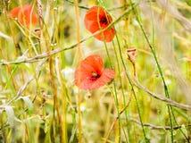 Campo das papoilas em um por do sol Foto de Stock