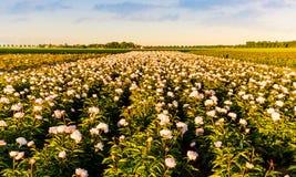 Campo das peônias em Flevoland durante o por do sol Fotos de Stock