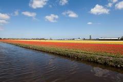 Campo das tulipas Imagens de Stock