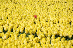 Campo das tulipas Imagens de Stock Royalty Free