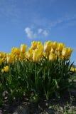 Campo das tulipas Foto de Stock Royalty Free
