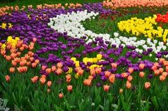 Campo das tulipas Imagem de Stock