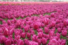 Campo das tulipas Fotografia de Stock