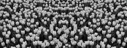 Campo das tulipas fotografia de stock royalty free