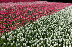 Campo das tulipas Fotos de Stock