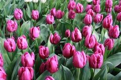 Campo das tulipas de Purpur Imagens de Stock Royalty Free