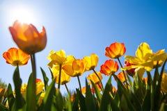 Campo das tulipas no sol Foto de Stock Royalty Free