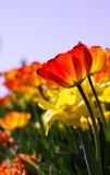 Campo das tulipas no verão Fotos de Stock