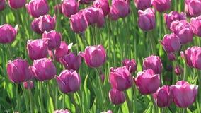 Campo das tulipas roxas que balançam levemente com o vento video estoque