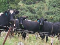 Campo das vacas Imagens de Stock