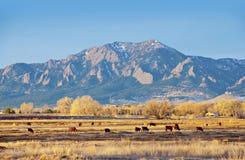 Campo das vacas por uma montanha no inverno Imagens de Stock