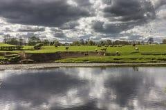 Campo das vacas refletidas com céu tormentoso Fotos de Stock Royalty Free