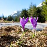 Campo de açafrões de florescência Fotos de Stock