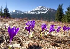 Campo de açafrões de florescência Imagens de Stock