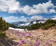 Campo de açafrões de florescência na primavera Imagens de Stock
