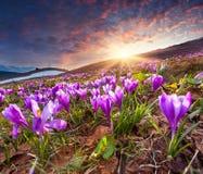 Campo de açafrões de florescência na primavera Foto de Stock Royalty Free