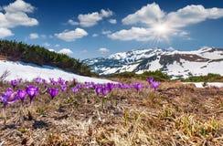 Campo de açafrões de florescência Imagem de Stock Royalty Free
