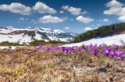 Campo de açafrões de florescência Fotografia de Stock Royalty Free