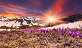 Campo de açafrões de florescência na primavera nas montanhas. Cor Foto de Stock