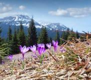 Campo de açafrões de florescência nas montanhas Foto de Stock Royalty Free