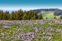 Campo de açafrões roxos selvagens Árvores e céu no fundo Imagem de Stock Royalty Free