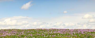 Campo de açafrões roxos selvagens com as nuvens no fundo Foto de Stock Royalty Free