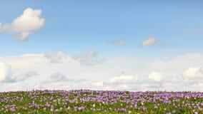 Campo de açafrões roxos selvagens com as nuvens no fundo Fotos de Stock Royalty Free