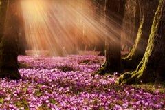 Campo de açafrões roxos selvagens com o vale das árvores de carvalhos no por do sol A beleza da mola wildgrowing floresce o açafr Foto de Stock