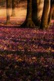 Campo de açafrões roxos selvagens com o vale das árvores de carvalhos no por do sol A beleza da mola wildgrowing floresce o açafr Imagens de Stock
