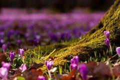 Campo de açafrões roxos selvagens com o vale das árvores de carvalhos no por do sol A beleza da mola wildgrowing floresce o açafr Imagem de Stock Royalty Free