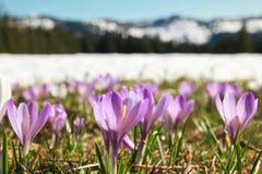 Campo de açafrões roxos selvagens Montanhas cobertos de neve no fundo Fotografia de Stock