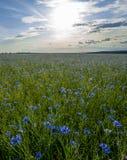 Campo de acianos florecientes, de las flores azules de acianos en el fondo del cielo azul y del sol de igualación de determinació fotos de archivo libres de regalías