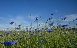Campo de acianos florecientes, de las flores azules de acianos en el fondo del cielo azul y del sol de igualación de determinació fotografía de archivo libre de regalías